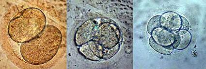 volwassen stamcellen vermenigvuldigen snel